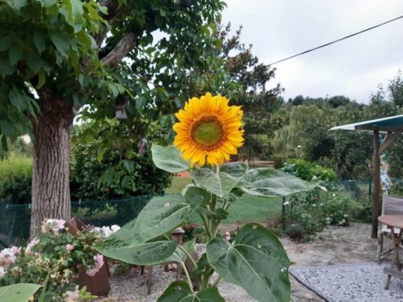 From Rose Cottage to Casa Girasol: Growing a garden in Galicia