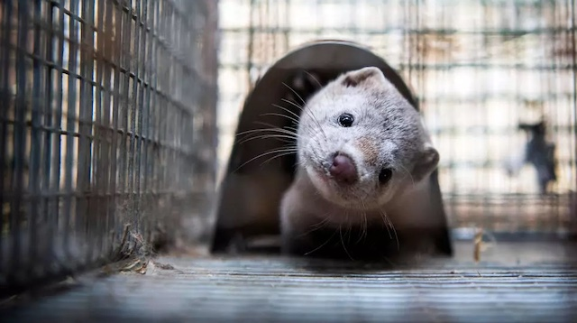 Spain to cull nearly 100,000 mink infected with coronavirus