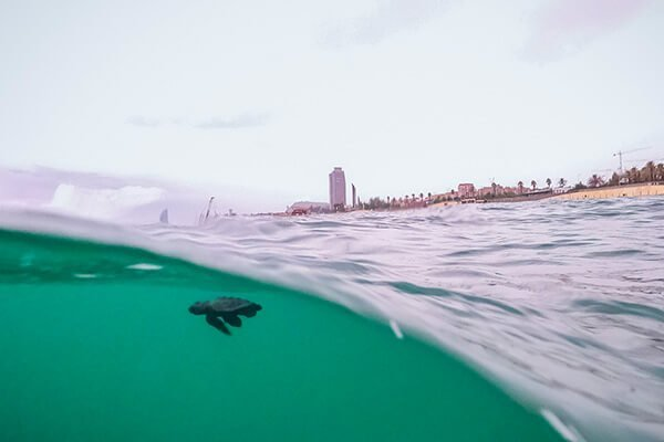 IN PICTURES: Loggerhead turtles hatch on Barcelona beach for the first time