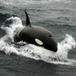 Spain bans sailing after spate of rogue killer whale attacks on yachts