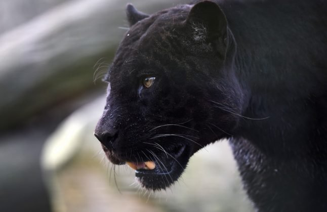 Is there a black panther prowling around a small village in southern Spain?