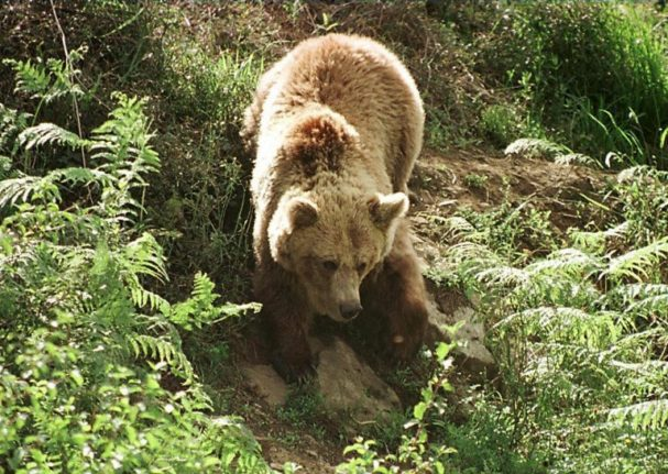 Brown bear found dead in Spanish Pyrenees 'was poisoned'