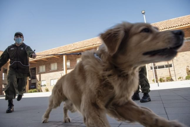 How European countries could use Covid-sniffing dogs to reduce infections