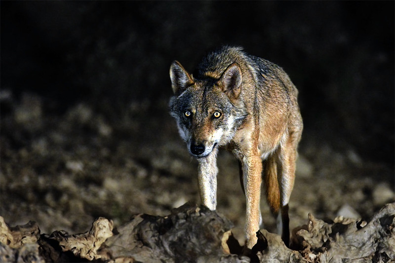 Spain moves to ban wolf hunting and give species protected status