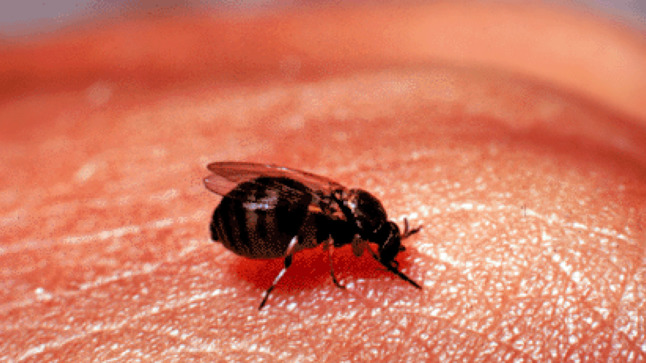 Black flies are thriving in Spain's heat: how to avoid their bites
