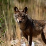 Wolf hunting ban pits farmers against conservationists in Spain